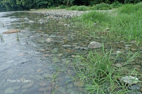 相模川で水生昆虫調査(2019年7月)_b0348205_23130892.jpg
