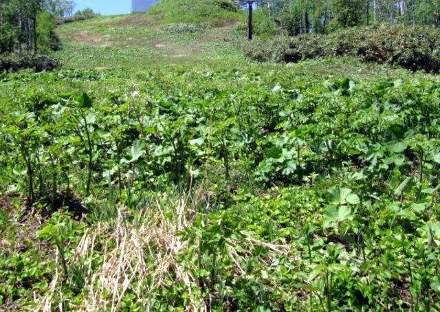 2019年5月29日(水)  貫気別山麓で山菜採り_a0345007_14005601.jpg
