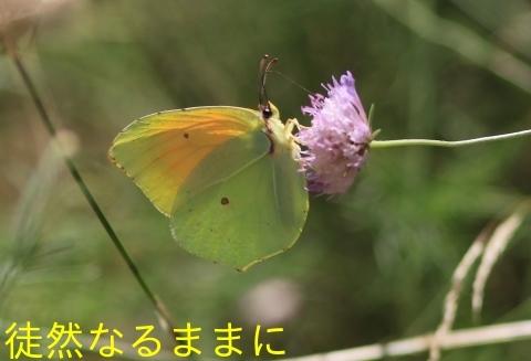 クレオパトラヤマキチョウ  in  LOPUD島①_d0285540_20571413.jpg