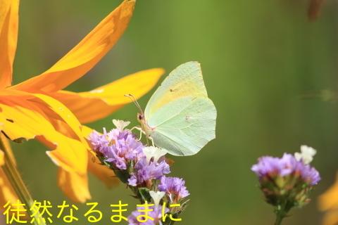 クレオパトラヤマキチョウ  in  LOPUD島①_d0285540_20581228.jpg