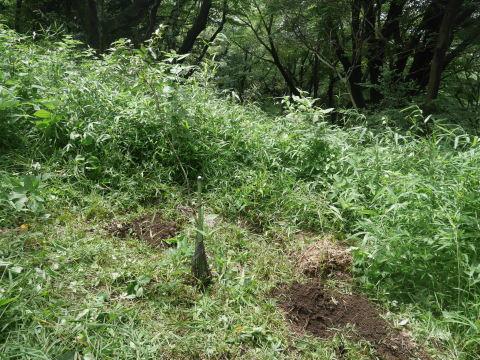 ヤマツツジの苗木の植樹に向け穴掘り7・17六国見山臨時_c0014967_09554984.jpg