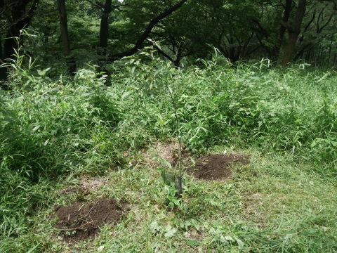ヤマツツジの苗木の植樹に向け穴掘り7・17六国見山臨時_c0014967_09560105.jpg