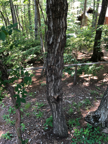昆虫採取ツアーは、この天気で虫も少ないだろうと思っていたが、どうして、まだ樹液も少ないのに、厚い木の皮の奥に、潜んでいます。見つけるのが大変です。_d0338282_16265671.jpg
