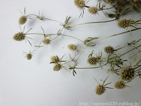 アジサイ・アナベルとのドライフラワー作りと、白花のエリンジュームのその後_c0293787_10194412.jpg