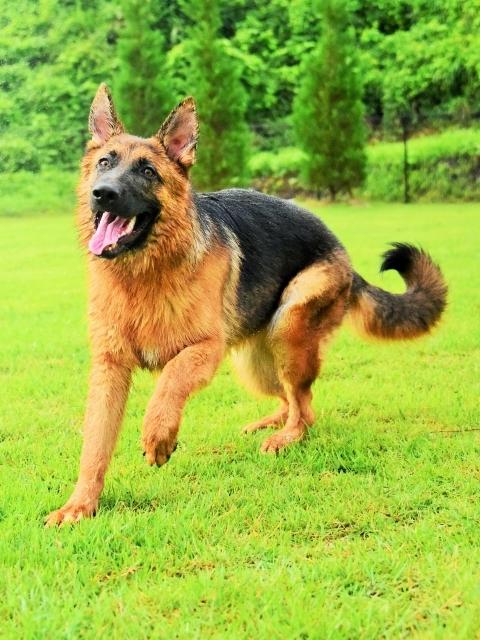 露骨なシェパ子犬_d0360206_00215531.jpg