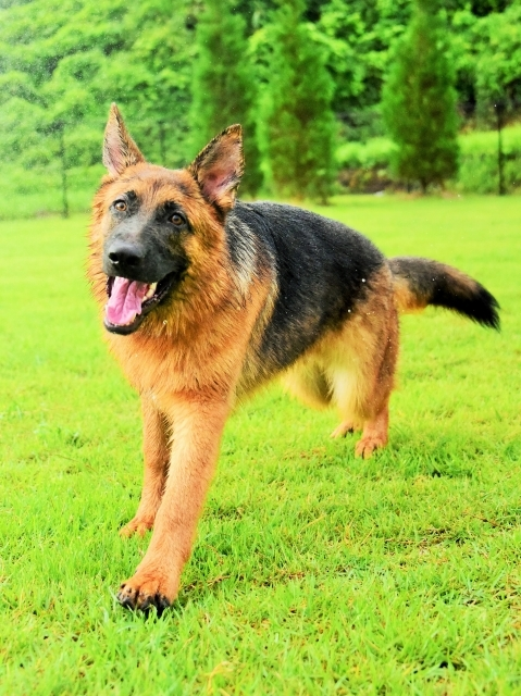 露骨なシェパ子犬_d0360206_00220053.jpg
