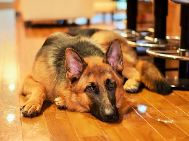 露骨なシェパ子犬_d0360206_00220349.jpg