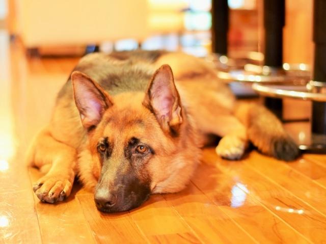 露骨なシェパ子犬_d0360206_00220731.jpg