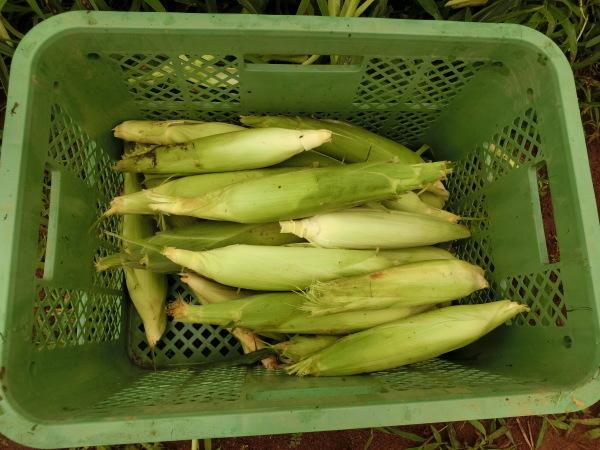 収穫作業♪_e0164724_16054098.jpg