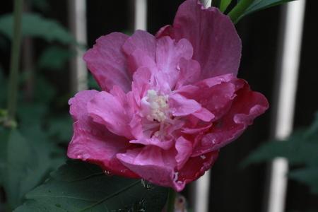 ムクゲの花たち_a0107574_14571871.jpg