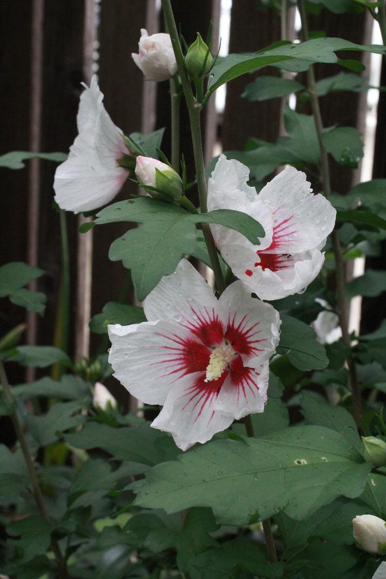 ムクゲの花たち_a0107574_14573329.jpg