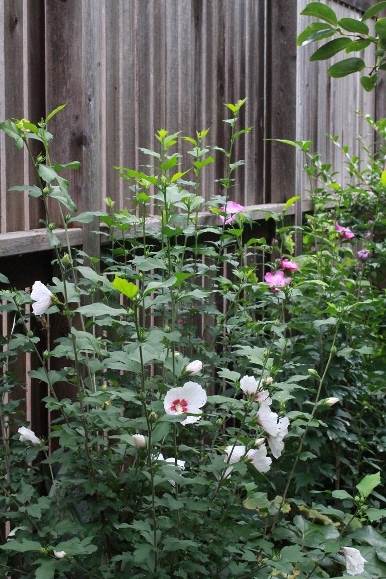 ムクゲの花たち_a0107574_14575032.jpg
