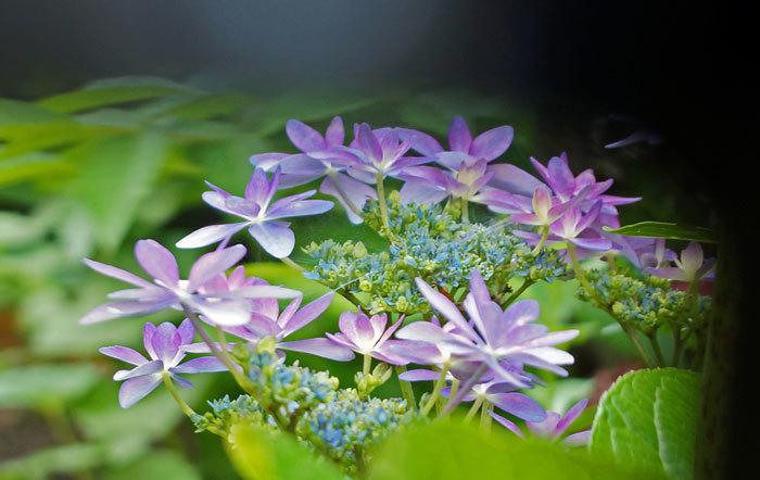 紫陽花_d0162994_14172102.jpg