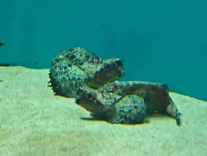 葛西臨海水族園:オーストラリア西部~ドラゴンとゴブリン_b0355317_22354598.jpg
