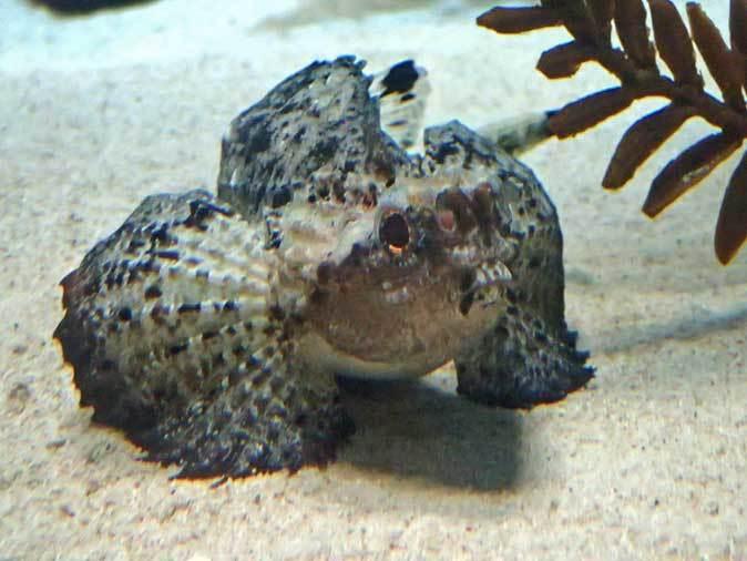 葛西臨海水族園:オーストラリア西部~ドラゴンとゴブリン_b0355317_22385676.jpg