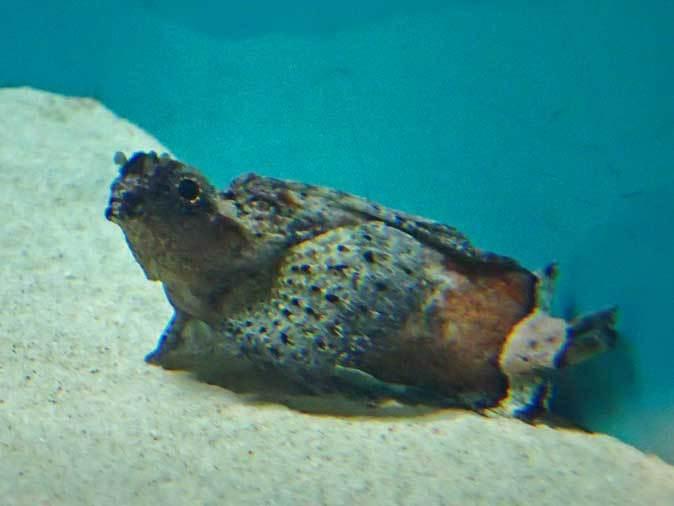 葛西臨海水族園:オーストラリア西部~ドラゴンとゴブリン_b0355317_22402196.jpg