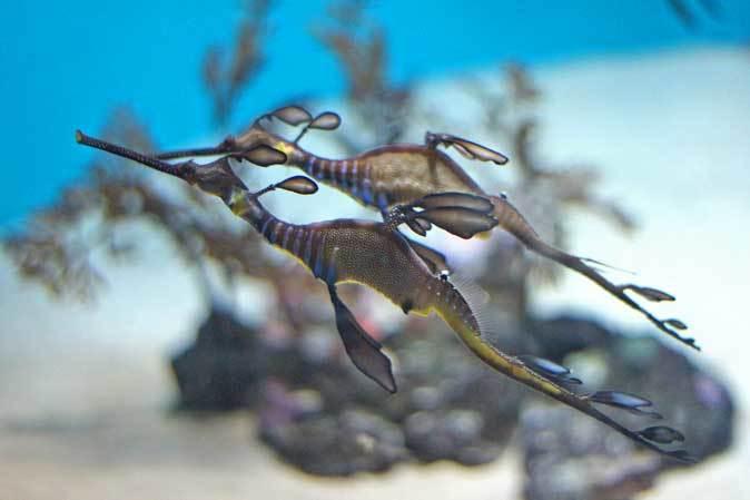 葛西臨海水族園:オーストラリア西部~ドラゴンとゴブリン_b0355317_22462293.jpg