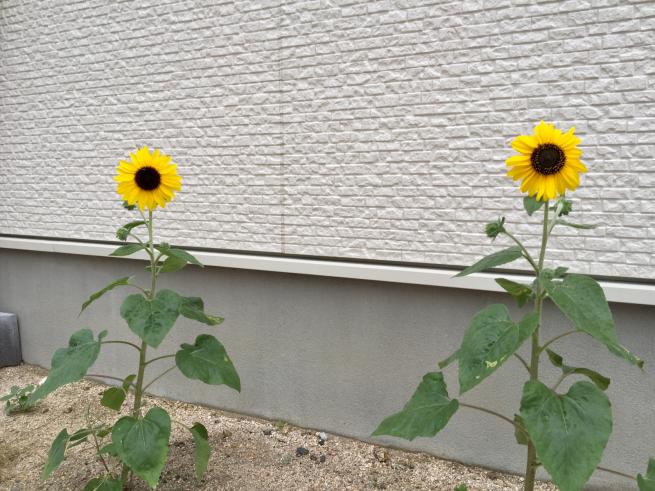 サンフィニティ開花☆_f0183846_18222557.jpg