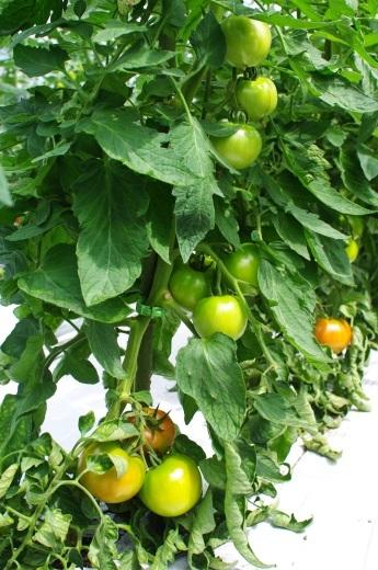来週の野菜セット内容(予定)です。/天候不順による影響_c0110869_09200047.jpg