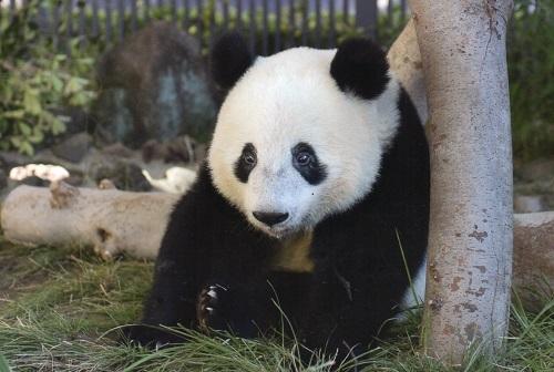 上野動物園のパンダ_a0116217_01230244.jpg