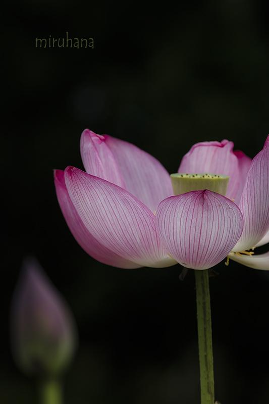 花菜ガーデンの蓮_c0037519_12312671.jpg