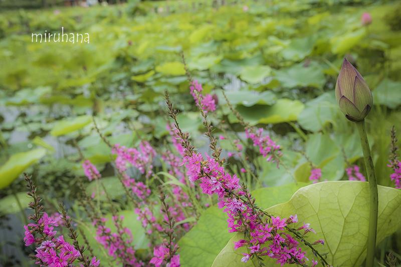 花菜ガーデンの蓮_c0037519_12313615.jpg