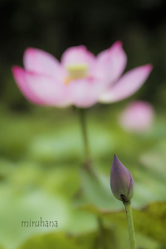 花菜ガーデンの蓮_c0037519_12314551.jpg