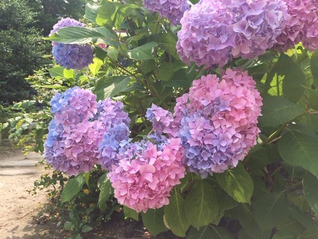 素敵な紫陽花に逢いに行ってきました♪ 姉妹で行く仙台紫陽花ツアー♪_d0108933_19172331.jpg