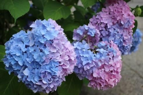 素敵な紫陽花に逢いに行ってきました♪ 姉妹で行く仙台紫陽花ツアー♪_d0108933_19482811.jpg