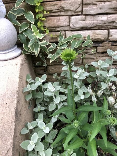 アプローチ花壇、植え込み(エキナセア'グリーンエンジェル'、ベロニカ)のその後_a0243064_12554338.jpg
