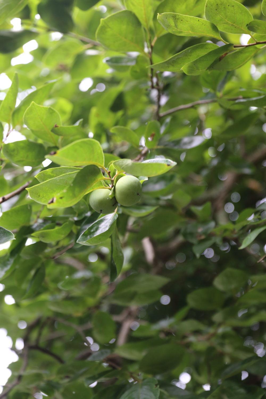 柿の実が生り始めています♪_b0275998_09401482.jpg
