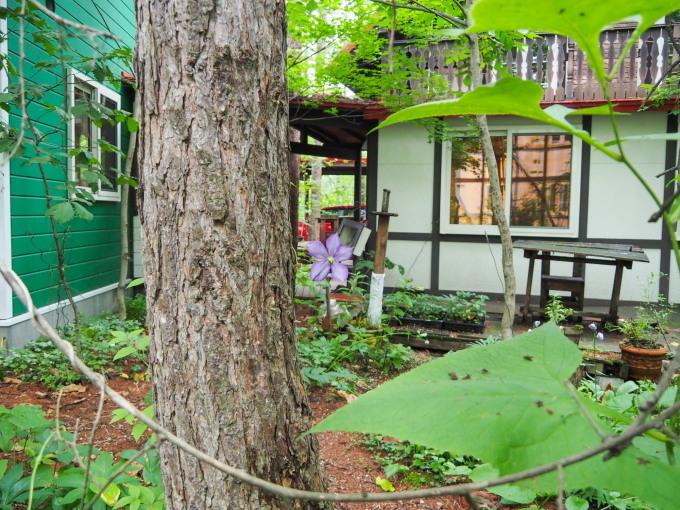 カフェから見える理想的な場所に「クレマチス」が咲いたのですが・・_f0276498_22072591.jpg