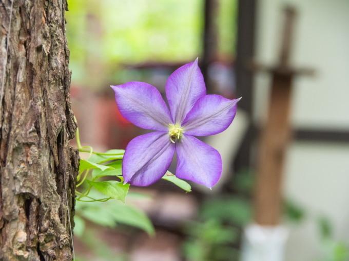 カフェから見える理想的な場所に「クレマチス」が咲いたのですが・・_f0276498_22075647.jpg
