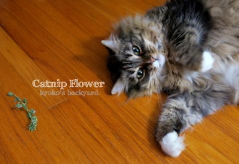 キャットニップの花をBaileyに進呈(猫ビデオ付き)_b0253205_03430076.jpg