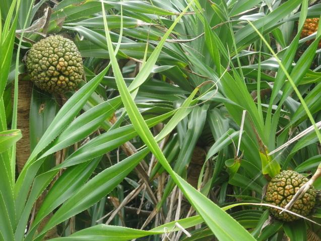 奄美大島の植物たち_b0196913_22341279.jpg