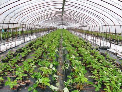 熊本限定栽培品種のイチゴ『熊紅(ゆうべに)』 令和元年度の生産に向け苗床とハウスの様子を取材!前編_a0254656_18081338.jpg