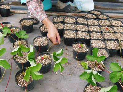 熊本限定栽培品種のイチゴ『熊紅(ゆうべに)』 令和元年度の生産に向け苗床とハウスの様子を取材!前編_a0254656_18270678.jpg