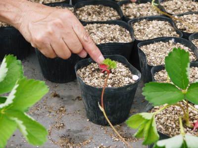 熊本限定栽培品種のイチゴ『熊紅(ゆうべに)』 令和元年度の生産に向け苗床とハウスの様子を取材!前編_a0254656_18305278.jpg