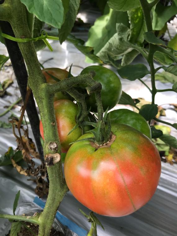 トマト!_b0185375_16295984.jpg