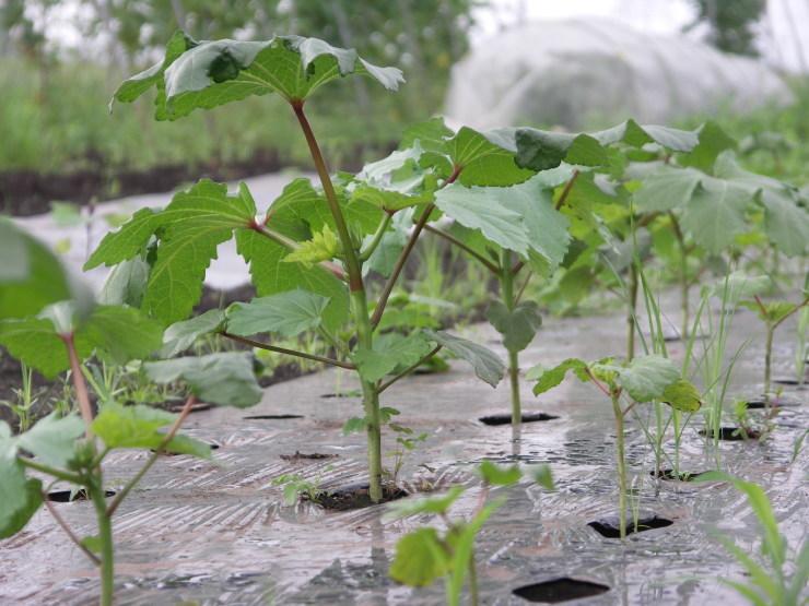 ジャガイモは掘れないし草だらけ_d0225575_22063429.jpg