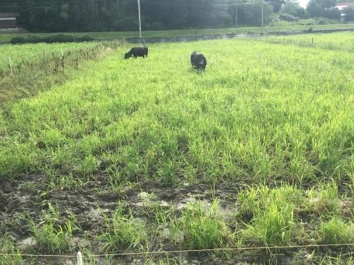田んぼで放牧_b0201492_16335809.jpeg