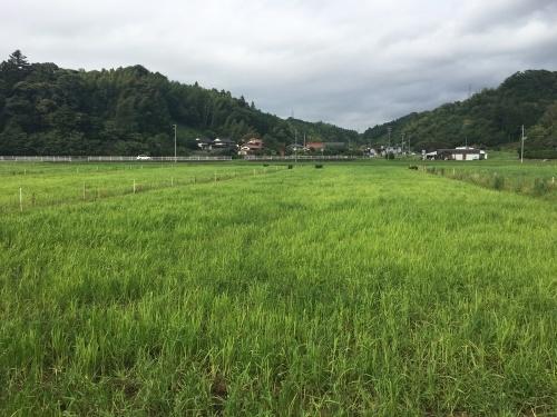 田んぼで放牧_b0201492_16405113.jpeg