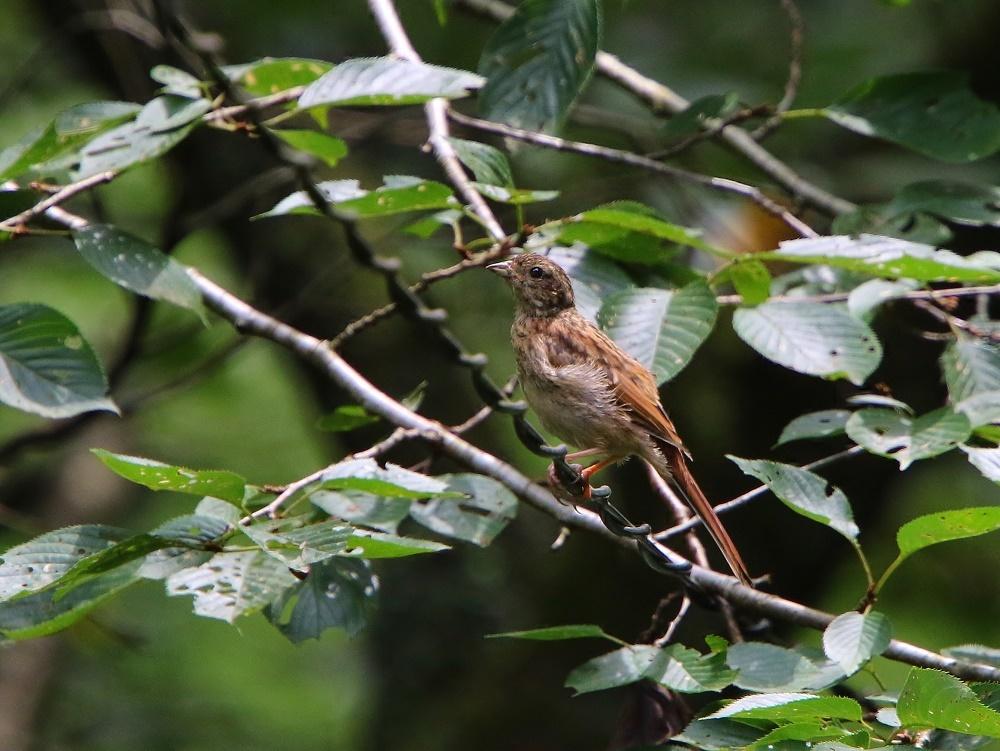 初めて見るオオルリ幼鳥、、_f0305401_14083513.jpg