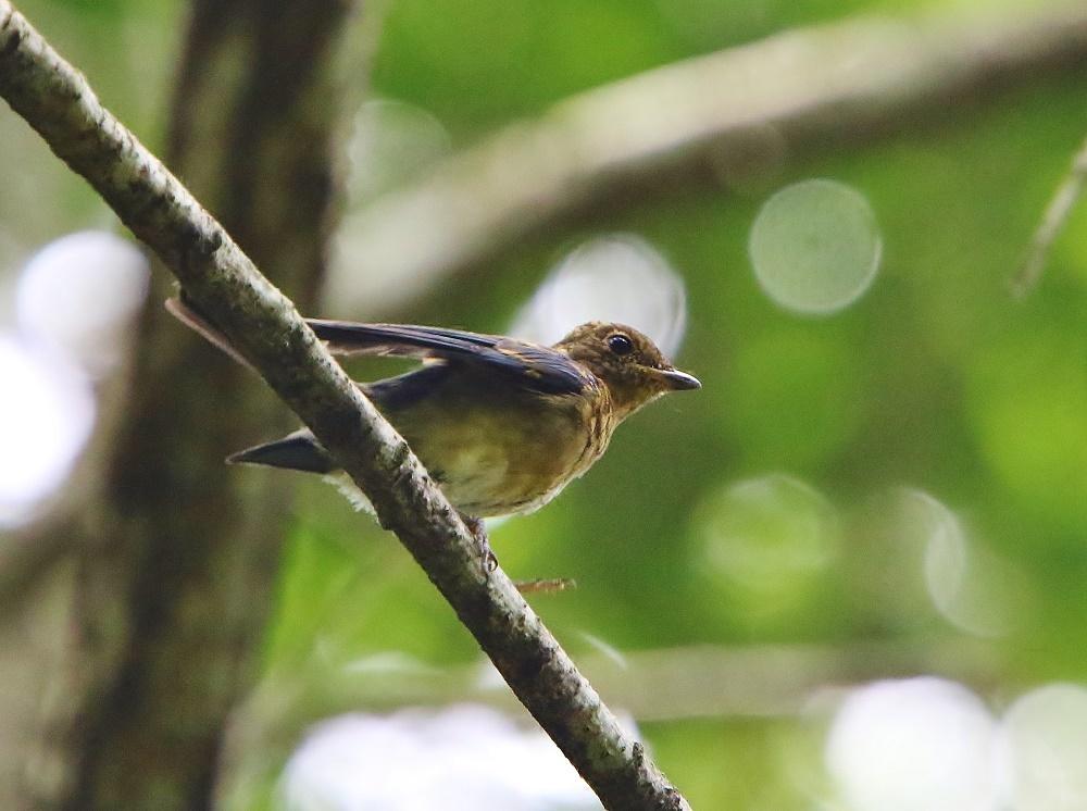 初めて見るオオルリ幼鳥、、_f0305401_14084159.jpg