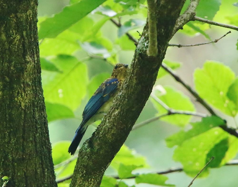 初めて見るオオルリ幼鳥、、_f0305401_14085347.jpg