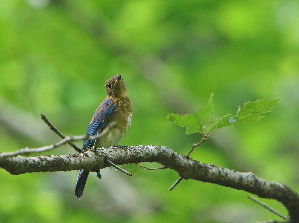 初めて見るオオルリ幼鳥、、_f0305401_14090087.jpg