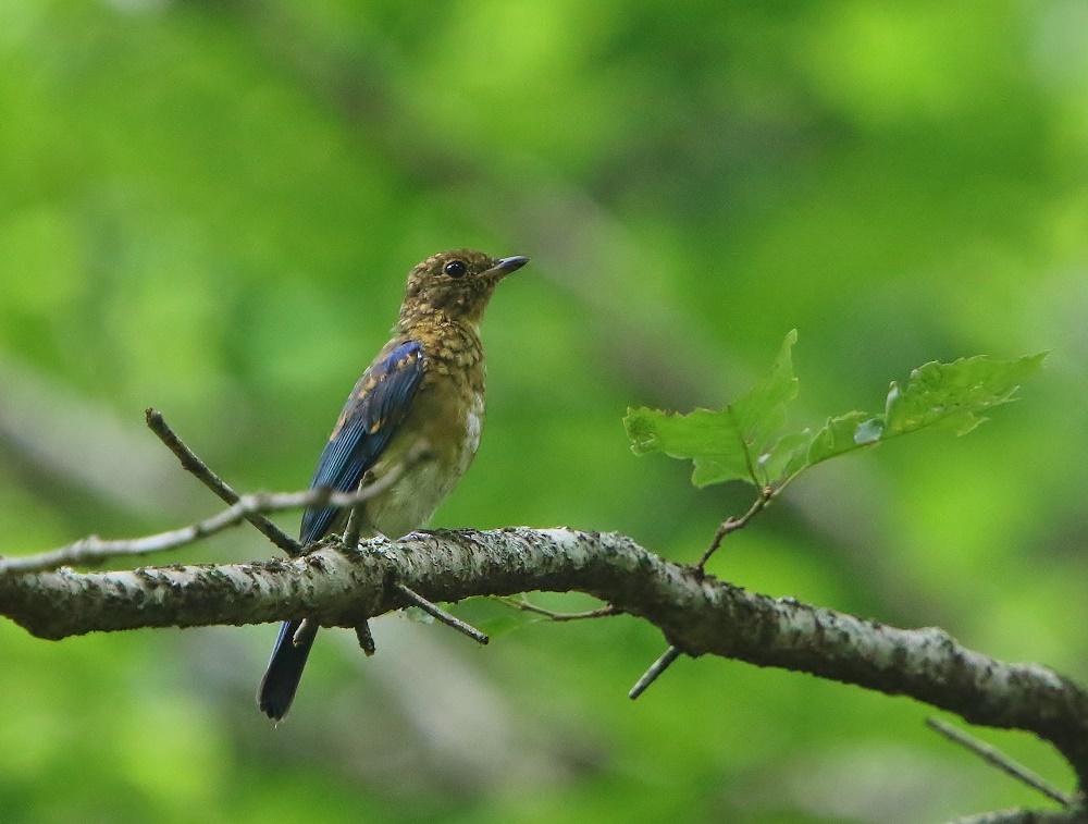 初めて見るオオルリ幼鳥、、_f0305401_14090654.jpg