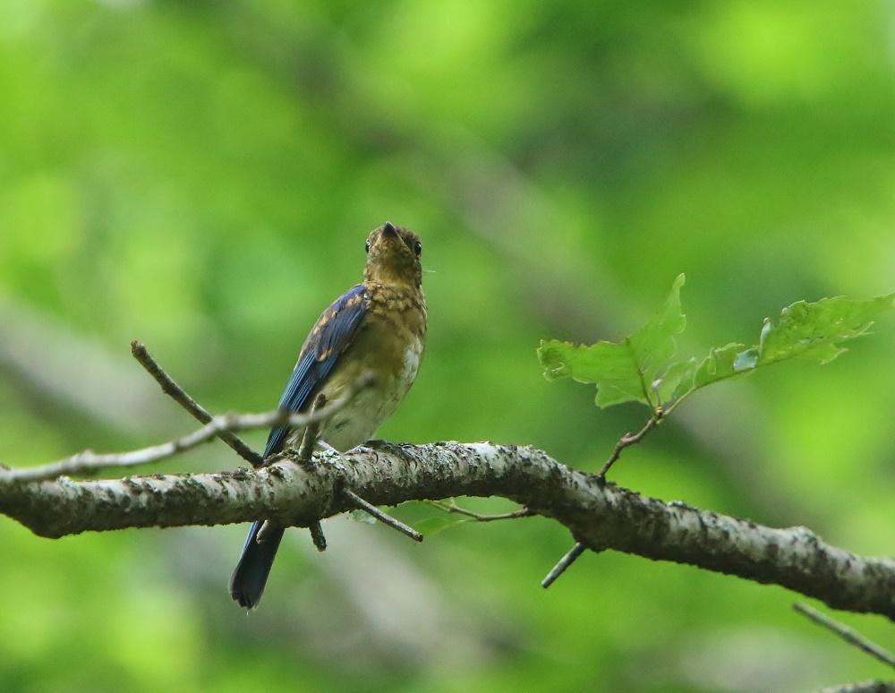 初めて見るオオルリ幼鳥、、_f0305401_14091244.jpg