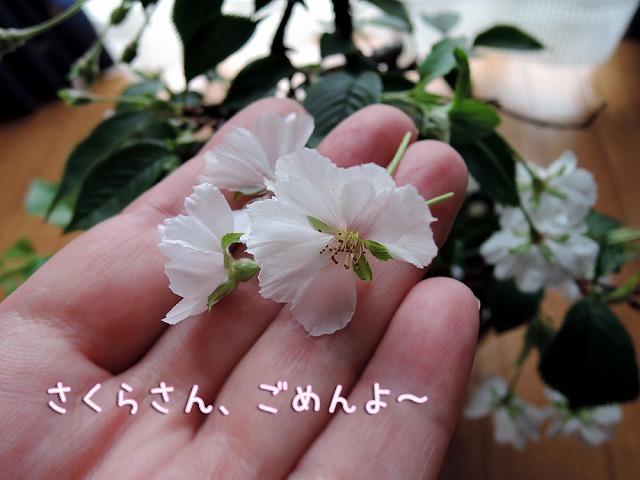 雨後の桜_c0062832_13322297.jpg