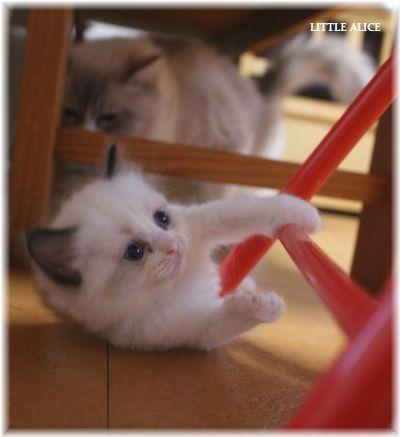 ☆ラグド-ルの仔猫~楽しい自由時間。_c0080132_11015305.jpg